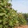 Up to 51% Off Vineyard Tour at Alexeli Vineyard & Winery