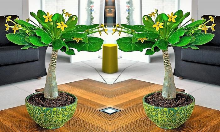 Brighamia Hawaiian Palm Tree Groupon Goods