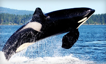 Orca- or Gray-Whale-Watching Tour for Two, Four, or Eight from Mystic Sea Charters (Up to 45% Off)