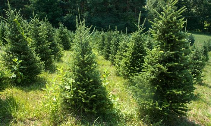 Bentley Ridge Tree Farm & Nursery - Urbandale: Locally Grown Trees and Shrubs at Bentley Ridge Tree Farm & Nursery (Half Off). Three Options Available.