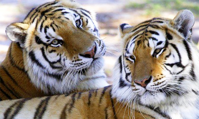 Wildlife Survival Sanctuary - Central Pasco: Exotic Animals Walking Tour for Two or Six at Wildlife Survival Sanctuary (Up to 50% Off)