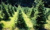 Piney Acres Christmas Tree Farm - PINEY ACRES: Pine Christmas Trees at Piney Acres Christmas Tree Farm (Half Off). Two Options Available.