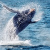 Up to 60% Off Peak Migration Whale-Watching & Dolphin Cruise