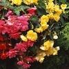 Pre-Order: Begonia Hanging Mixture Bulbs