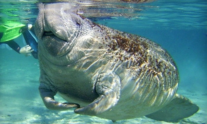 Snorkel with Manatees - Crystal River: Dolphin Encounter or Manatee Swim Tour from Snorkel with Manatees in Crystal River (Up to 55% Off)