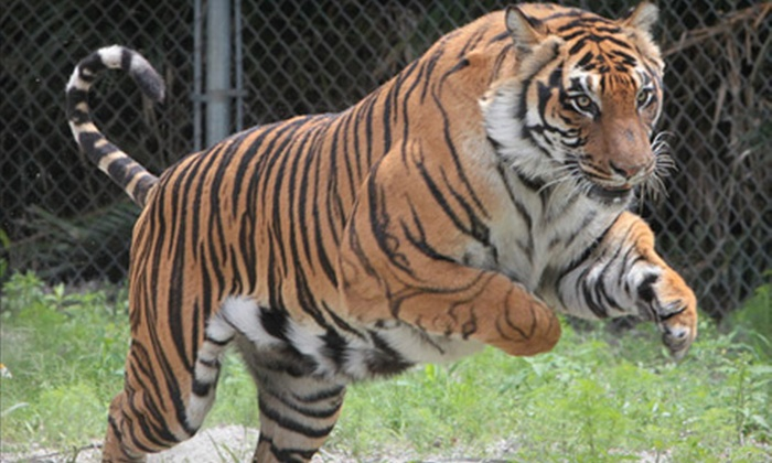 Big Cat Habitat and Gulf Coast Sanctuary - Sarasota: $30 for an Exotic-Animal-Sanctuary Outing for Four to Big Cat Habitat and Gulf Coast Sanctuary in Sarasota ($60 Value)