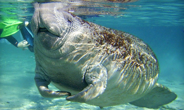 Snorkel with Manatees - Crystal River: $25 for an Underwater Manatee Encounter at Snorkel with Manatees in Homosassa ($55 Value)