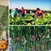 Half Off Corn Maze and Pumpkin Patch