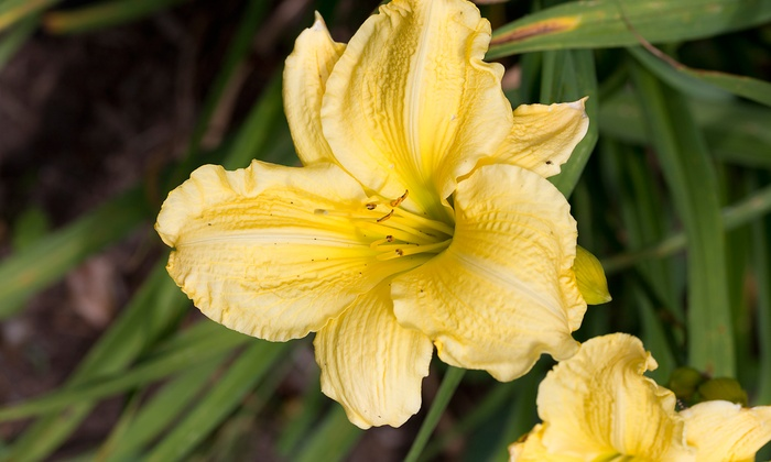New Every Morning Daylily Gardens - Byron Center: 5 or 10 Daylily Plants or $12 for $20 Worth of Plants at New Every Morning Daylily Gardens