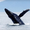 SF Bay Whale Watching – Half Off