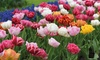 Tulip Murillo Mixed Bulbs