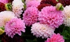 Lilac Time Dahlia Bulbs (6-Pack): Lilac Time Dahlia Bulbs (6-Pack)