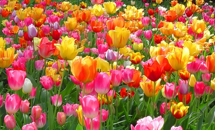 Rainbow Mixed Tulip Bulbs Direct from Holland (50 Bulbs)