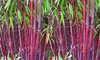 Groupon Goods Global GmbH: Three or Six Red Bamboo Plants