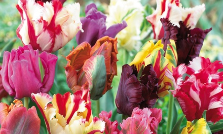 Tulip Parrot Collection: 16, 32 or 64 Bulbs from £6.99 With Free Delivery