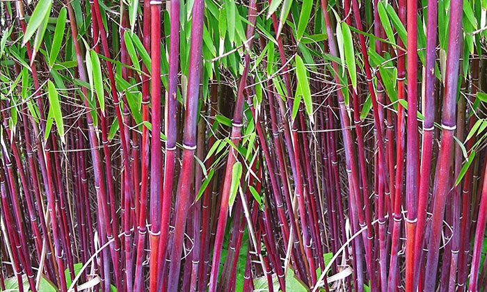 3 pflanzen roter bambus groupon goods. Black Bedroom Furniture Sets. Home Design Ideas