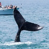 Up to 63% Off Whale-Watching During Peak Gray Whale Migration