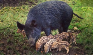 Bowland Wild Boar Park Animal Park: Bowland Wild Boar Park Entry for One Person or Family (Up to 38% Off)