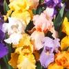 2-Pack of Bearded Iris