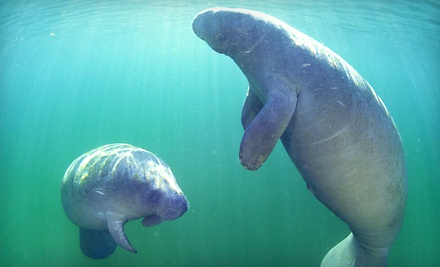 Guided Manatee Snorkel Tour for 1 (a $55 value) - Adventure Diving in Crystal River