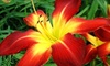 Champion Daylilies - Farragut: $12 for Three Daylily Plants at Champion Daylilies ($36 Value)
