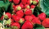 Pre-Order Allstar Junebearing Strawberry Plant Roots (10- or 20-count)