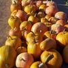 Half Off at Corona Pumpkin Farm at CJ's Ranch