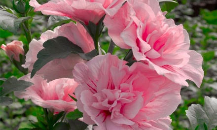 Three or Six Hibiscus Chiffon Double Flowered Tree Hollyhocks Plants with Optional Planters