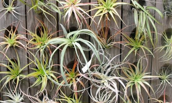 City Planter - Northern Liberties -  Fishtown: $12 for Three Tillandsias from City Planter ($24 Value)