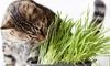Set di 6 piante di erba gatta