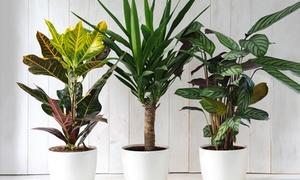 Lot de 3 plantes hauteur 20-25 cm