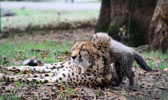 Wildlife Safari - Wildlife Safari: $125 for a Cheetah Deluxe Stroll Package for Two at Wildlife Safari ($250 Value)