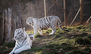 National Tiger Sanctuary: Up to 50% Off Big Cat Tours at National Tiger Sanctuary