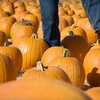 Half Off Pumpkin-Patch Outing in West Sacramento