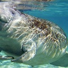55% Off at Snorkel with Manatees in Crystal River