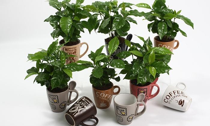 plantes caf ier arabica groupon shopping. Black Bedroom Furniture Sets. Home Design Ideas