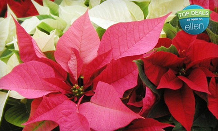 Romence Gardens & Greenhouses - Grand Rapids: $10 for $20 Worth of Poinsettias at Romence Gardens & Greenhouses