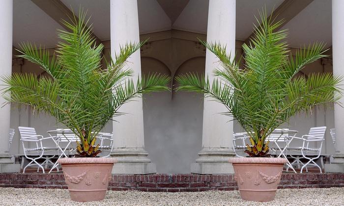 palmier des canaries groupon. Black Bedroom Furniture Sets. Home Design Ideas