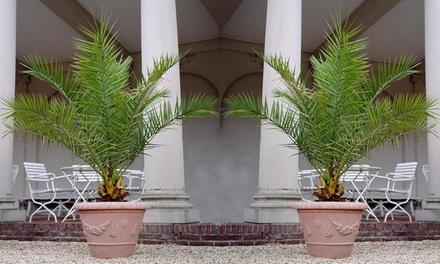 2 of 4 Canarische dadelpalmen met een hoogte van 6575 cm