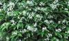 Trachelospermum Jasminoides 2L Pot – One or Two Plants