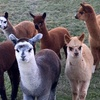 Two-Hour Alpaca Experience