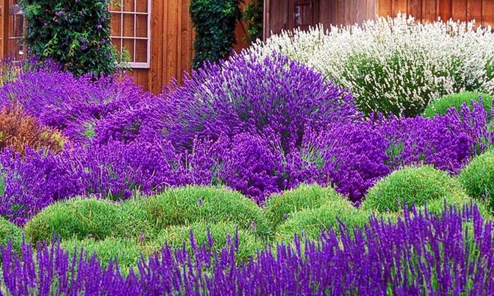 pack of 30 lavender plants groupon goods. Black Bedroom Furniture Sets. Home Design Ideas