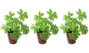 Géranium anti-moustique de jardin