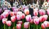 Pink Tulip and Daffodil Flower Bulb Mix (24 Bulbs)