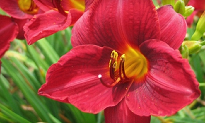 Oakes Daylilies - Ridgeview Heights: $20 for $40 Worth of Daylilies at Oakes Daylilies in Corryton