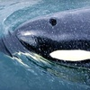 Half Off Whale-Watching Tour in Friday Harbor