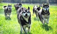 1,5-stündige Husky-Wanderung für 2, 4 oder 6 Personen mit Nature Trails ab 29,90 € (bis zu 51% sparen*)