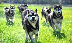 Nature Trails GmbH: 1,5-stündige Husky-Wanderung für 2, 4 oder 6 Personen mit Nature Trails ab 29,90 € (bis zu 51% sparen*)