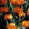 Fall Pre-Order: 15 Double-Flowering Tulip Bulb