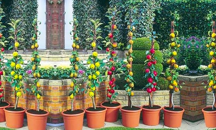 Patio Pillar Fruit Trees 67% Off | Groupon Goods
